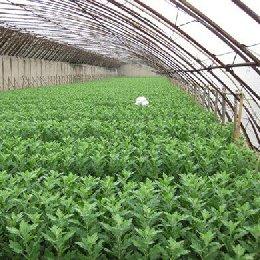 切花菊种植