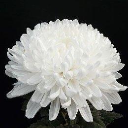 切花菊品种神马