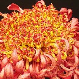 桂瓣类品种菊匙桂型大红托桂