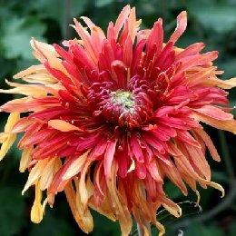 平瓣类品种菊翻卷型朱砂红霞