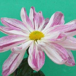 平瓣类品种菊宽带型粉十八