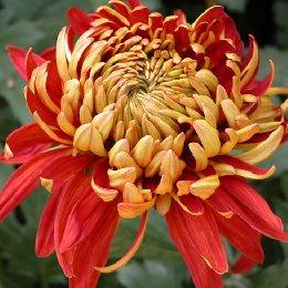 平瓣类品种菊芍药型金背大红