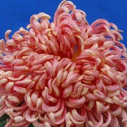 匙瓣类品种菊卷散型丹凤朝阳