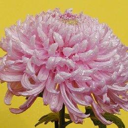匙瓣类品种菊莲座型幕欲桃红