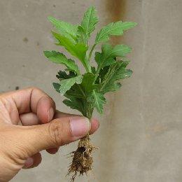 种苗繁育成品菊花苗