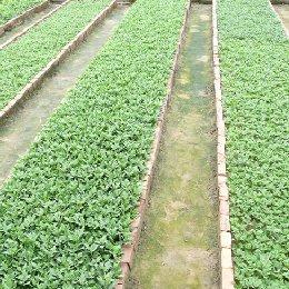 种苗繁育沙土苗床
