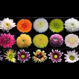 切花菊品种图