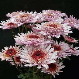 切花菊品种粉沙姆