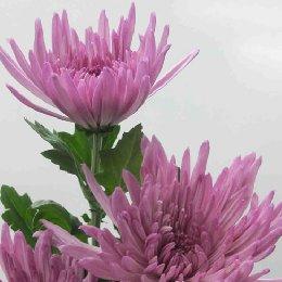 切花菊品种紫安娜