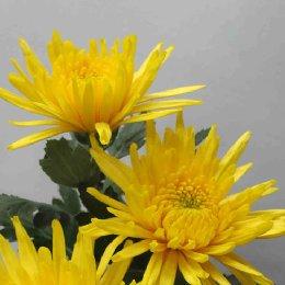 切花菊品种黄安娜