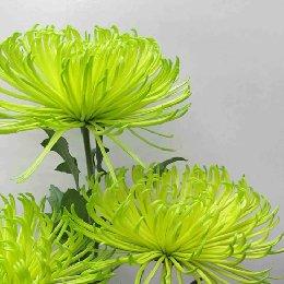 切花菊品种绿安娜