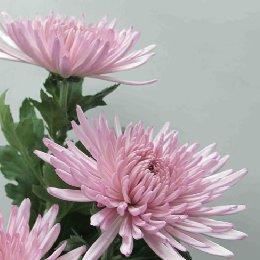 切花菊品种粉安娜