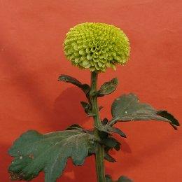 切花菊品种绿小青