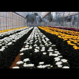 切花菊种植成品图