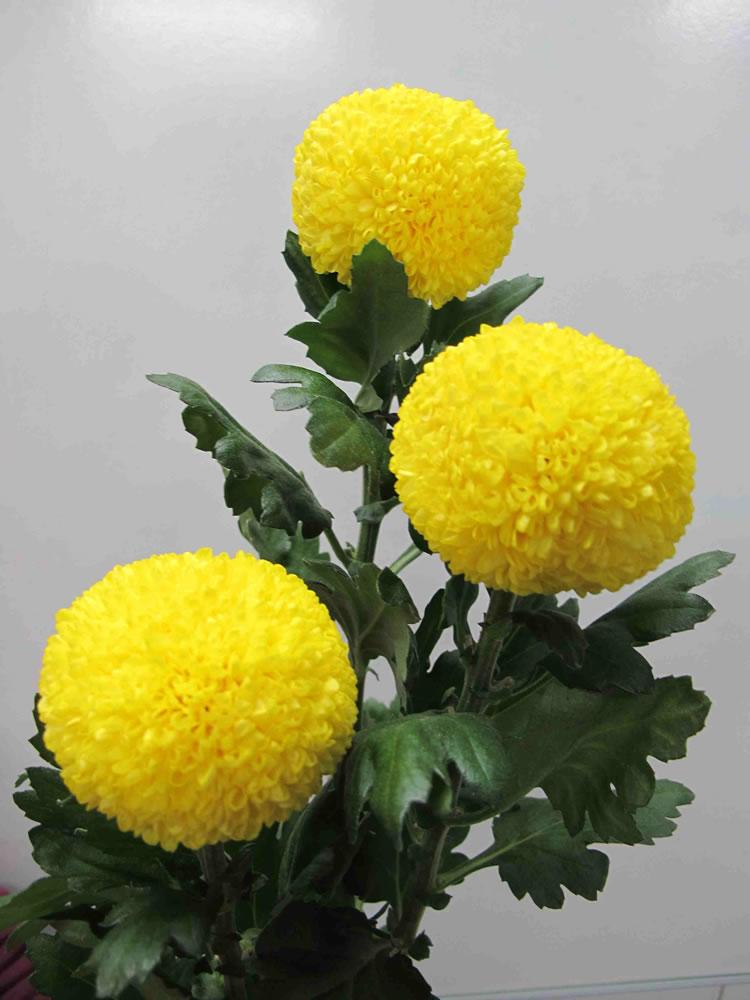 兵乓菊品种黄乒乓