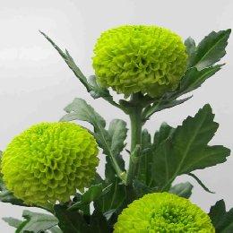 兵乓菊品种绿乒乓
