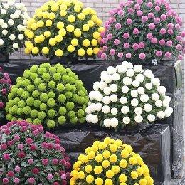 乒乓菊多品种插花应用