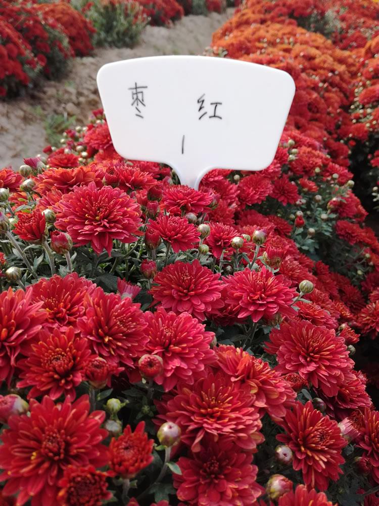 国庆菊小菊国庆红1