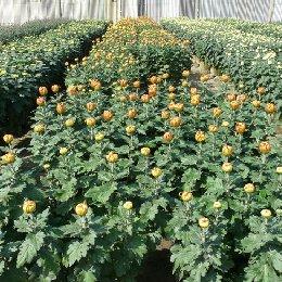 多本菊多头菊种植图