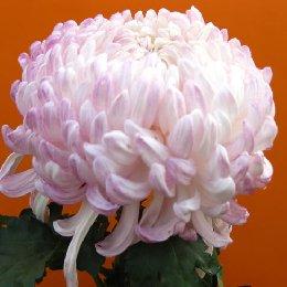 多本菊品种粉霜满天
