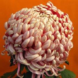 多本菊品种国华红强大