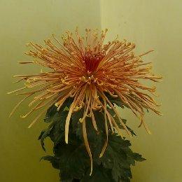 多本菊品种禾城星火