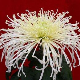 多本菊品种泉乡水长