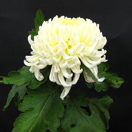 多本菊品种泉乡万胜白