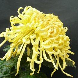 多本菊品种唐宇若无