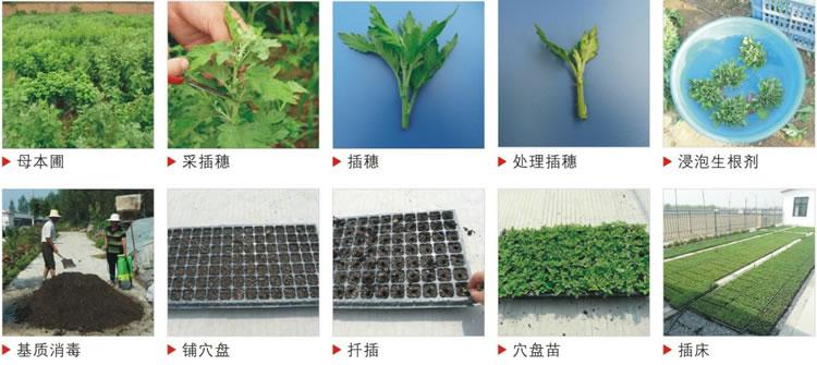 种苗繁育流程图