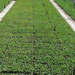种苗繁育优良穴盘扦插苗