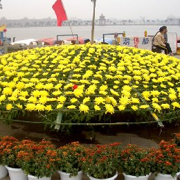 艺菊菊花造型大立菊