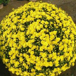 艺菊菊花造型菊球