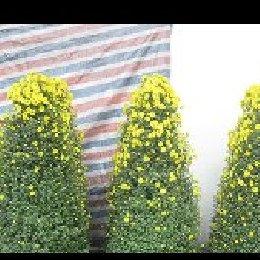 艺菊菊花造型小悬崖