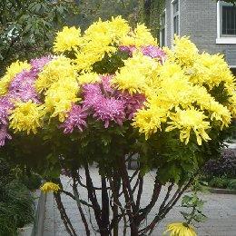 艺菊菊花造型自然菊树