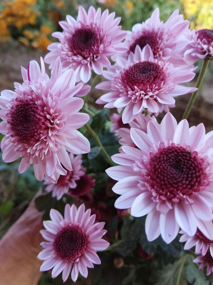 种植技术菊花种苗在市场中畅销的原因有哪些