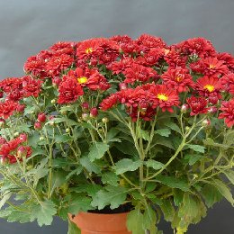 盆栽菊花红色盆栽小菊
