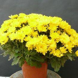 盆栽菊花黄色盆栽小菊