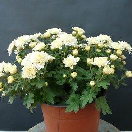 盆栽菊花白色盆栽小菊