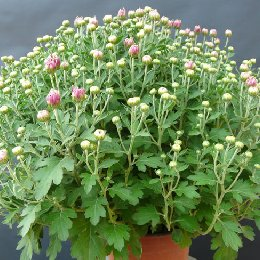 盆栽菊花粉色盆栽小菊