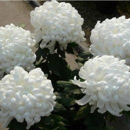 盆栽菊花多本菊5本菊