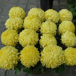 盆栽菊花多本菊16本菊