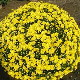 菊花造型菊球