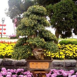 菊花造型树桩盆景菊