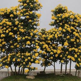 菊花造型丛林式菊花盆景