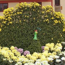 菊花造型孔雀菊