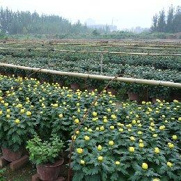 盆栽菊花生产场景