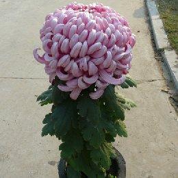 盆栽菊花独本菊