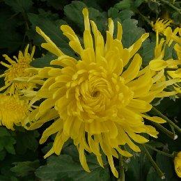 金丝皇菊鲜花