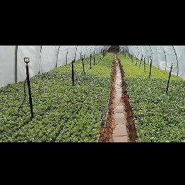 金丝皇菊种苗
